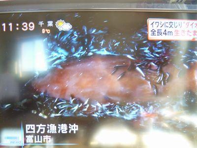 富山湾、四方漁港沖で捕獲されたダイオウイカ