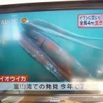 ダイオウイカが生け捕り!石川・富山・新潟で次々と!展示されないかな!