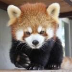 脱走したスミレ(レッサーパンダ)の写真